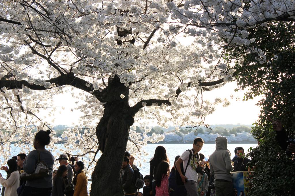 DC-blossoms-2
